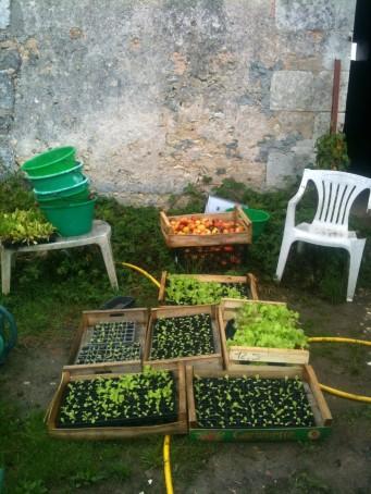 Semis de salades