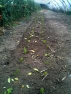 Plantation blette