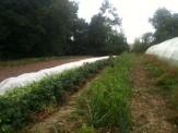 Récolte haricots