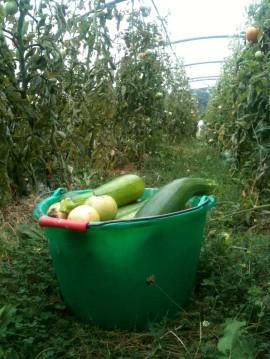 Récolte courgettes
