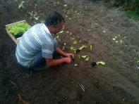 Plantation salade