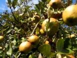 Cueillette pommes