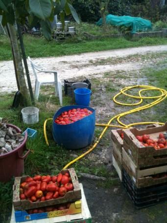 Nettoyage des tomates