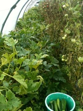 Récolte des courgettes