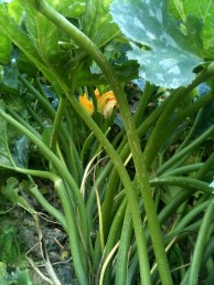 Tige tube courgettes