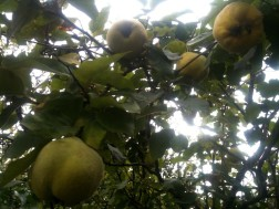 Coing fruit du cognassier