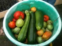 Récolte courgettes et tomates