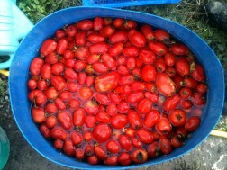 Tri et nettoyage des tomates