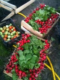 Récolte radis rond écarlate saurat