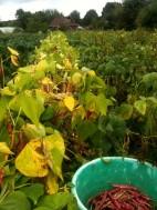 Récolte haricots demi-sec Borloto