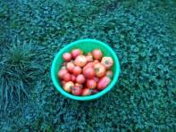 tomates sur trèfle
