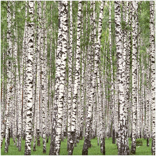 Le pollen du bouleau, arbre fréquemment planté dans les villes, devient extrêmement toxique lorsque les températures s'élèvent.
