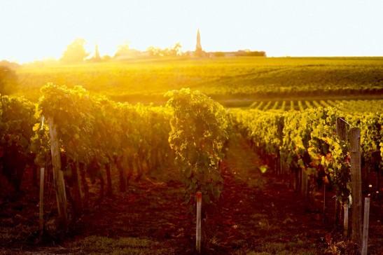 Les vignes du bordelais seront vendangées beaucoup plus tôt pour maintenir la qualité du vin